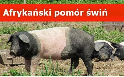 Informacja Głównego Lekarza Weterynarii dot. afrykańskiego pomoru świń