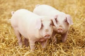 Uwaga hodowcy trzody chlewnej – dodatkowe obowiązki i wymagania dla posiadaczy świń