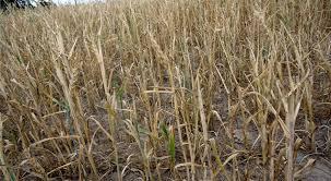 Komisja szacuje straty spowodowane przez suszę