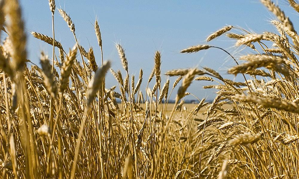 Szacowanie strat wywołanych suszą